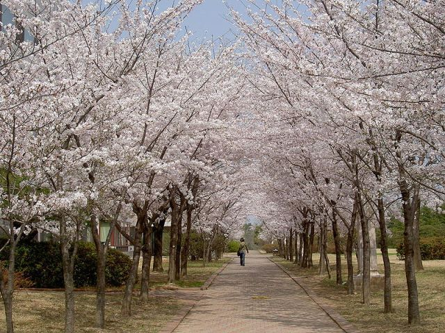 800px-Cherry_blossoms_at_POSTECH
